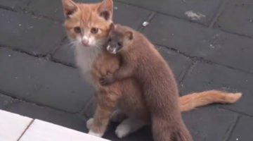 A Small Animal Was Playing With Their Kitten But They Looked Closer And Then Started Recording