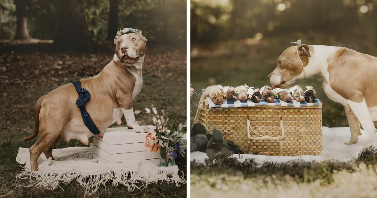 This Pitbull Looks Gorgeous In Her Own Maternity Photoshoot