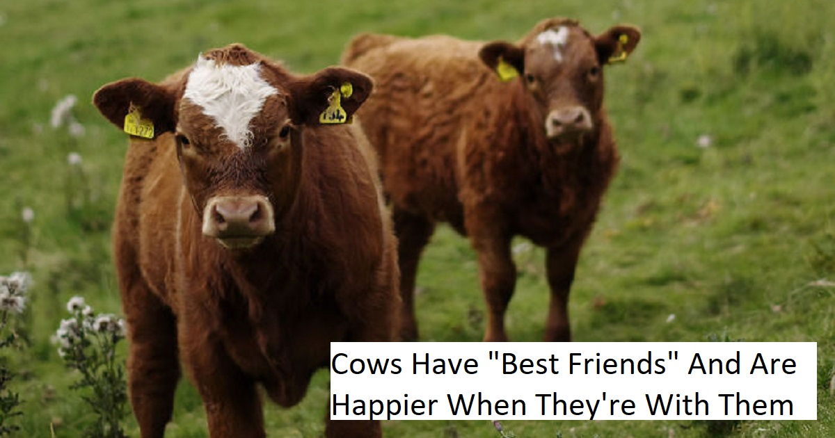 Do cows have best friends