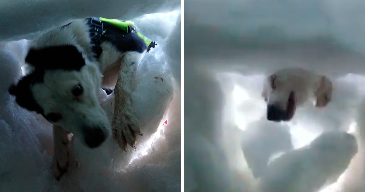 A Man Buried In The Snow Films A Mountain Rescue Dog Saving Him And It's Beautiful