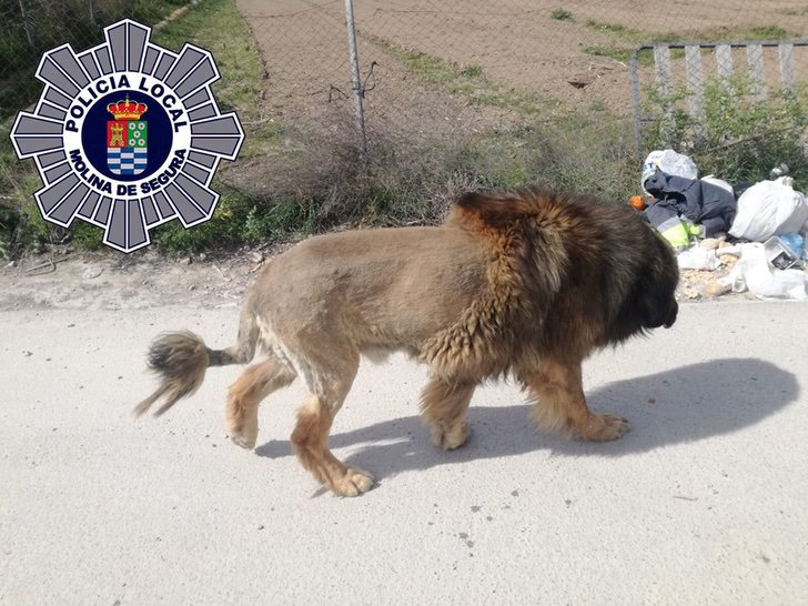 Lion Found Loose In Spain Turned Out To Be A Dog With Lion Haircut